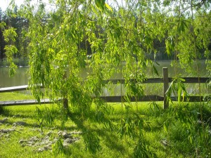 Looking at green is so good. The weeping willow hovers, swaying in the breeze.