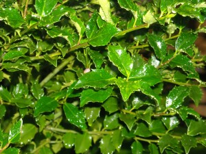 Holly seems to be a forever plant. My garden flourishes from the shiny holly.