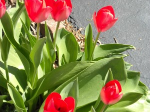 Mom's favorite flower. She had a large bed of tulips- too many to count when I was a child
