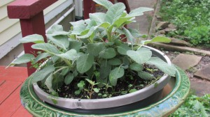 Sage helps with so many ailments- even the night sweats of menopause