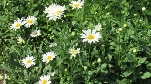 Daisies are everywhere; they grow wild and you can tend to them in your garden too. The perfect flower with its bright yellow center