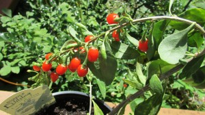 Food as medicine: the Goji Berry