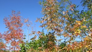 Look up and see the wonders of a blue sky with the contrasting oranges and yellows of autumn