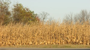 Passing through the corn maze of your life