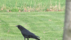 Crows calling out that spring is here. Hear their voices strong and centered; letting you know they are here